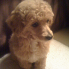 Cute Baby Poodle For Sale